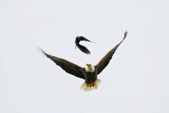 Eagle Crow