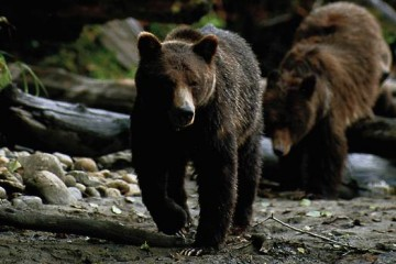 web-grizzly-bc-1110